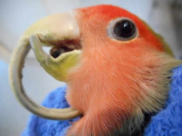 how to Beak trim - Melbourne bird vet