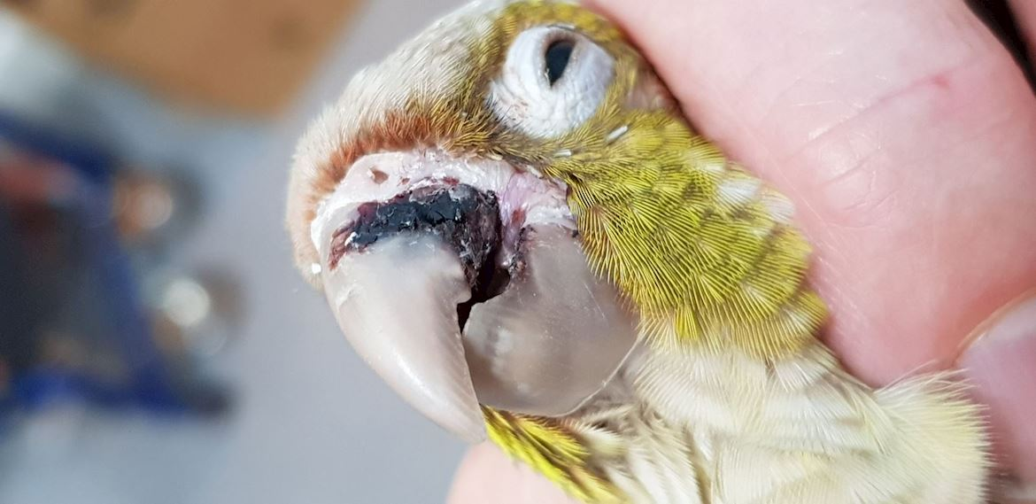 Conure Vet - beak repair