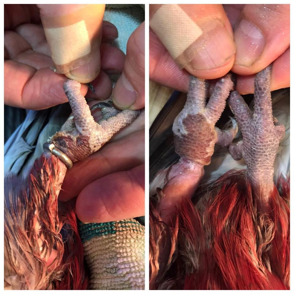 Leg band removal in birds - expert bird vet
